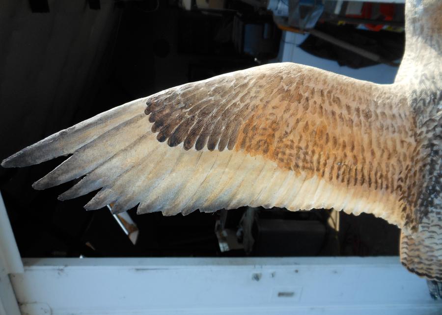 Marbled godwit detail