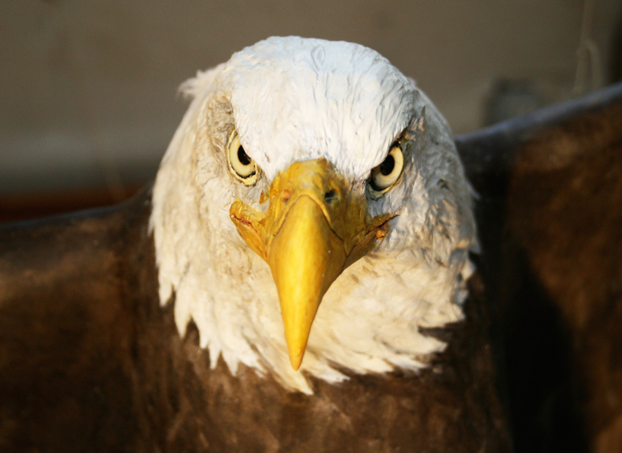 Detail from the Bald Eagle at installed at the Harnish Visitor Center.