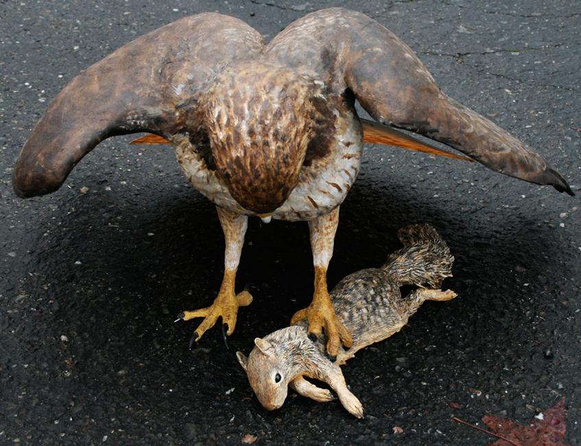 Redtail hawk with ground squirrel