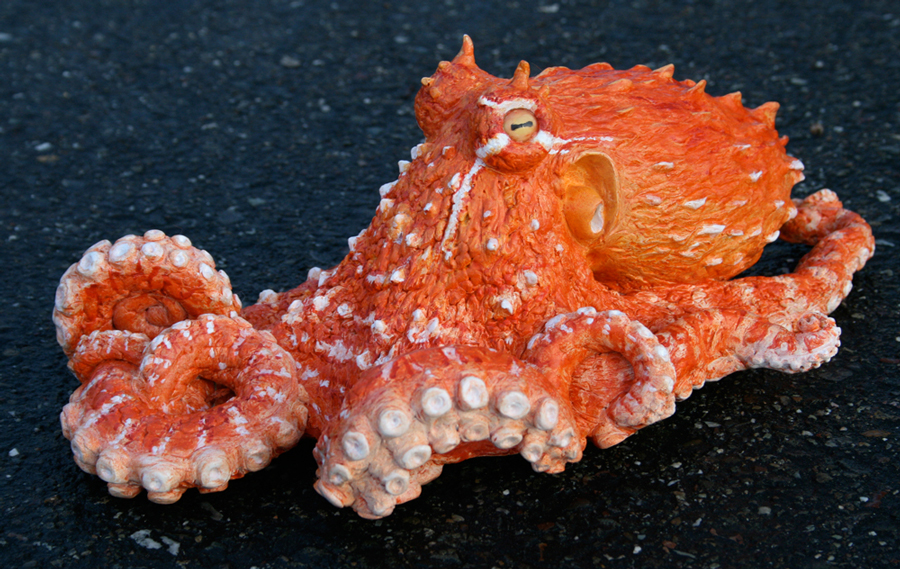 A Juvenile Octopus