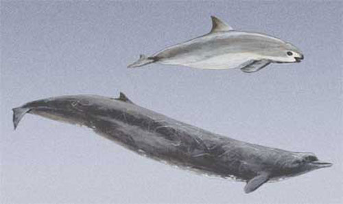 Vaquita and Baird's Whales