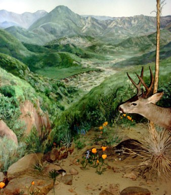 This diorama designed and built by Alumni Exhibits. The diorama mural painted by Ali Pearson and Brooke Fancher. The taxidermy by Chuck Tesla.